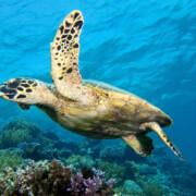 scuba diver course turtle