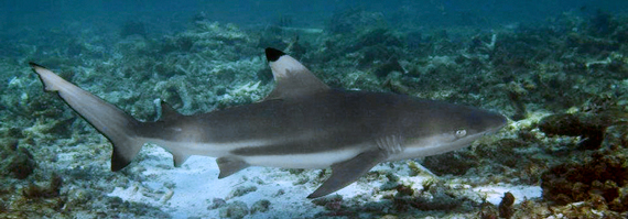 bida nok diving shark