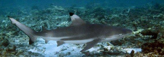 bida nok diving shark