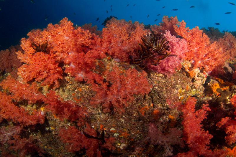 Hin Daengred rock coral reef