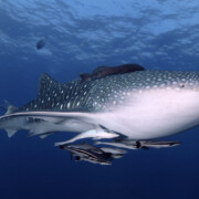 whale shark diving koh lanta