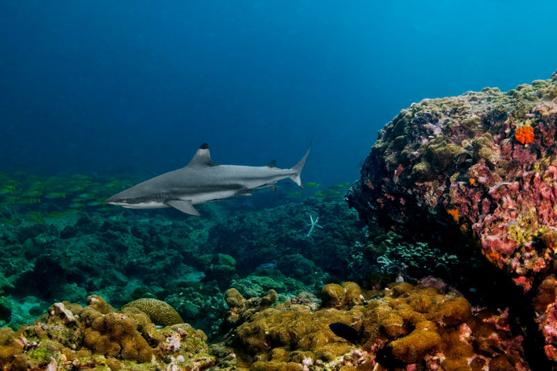 koh lanta black tip shark
