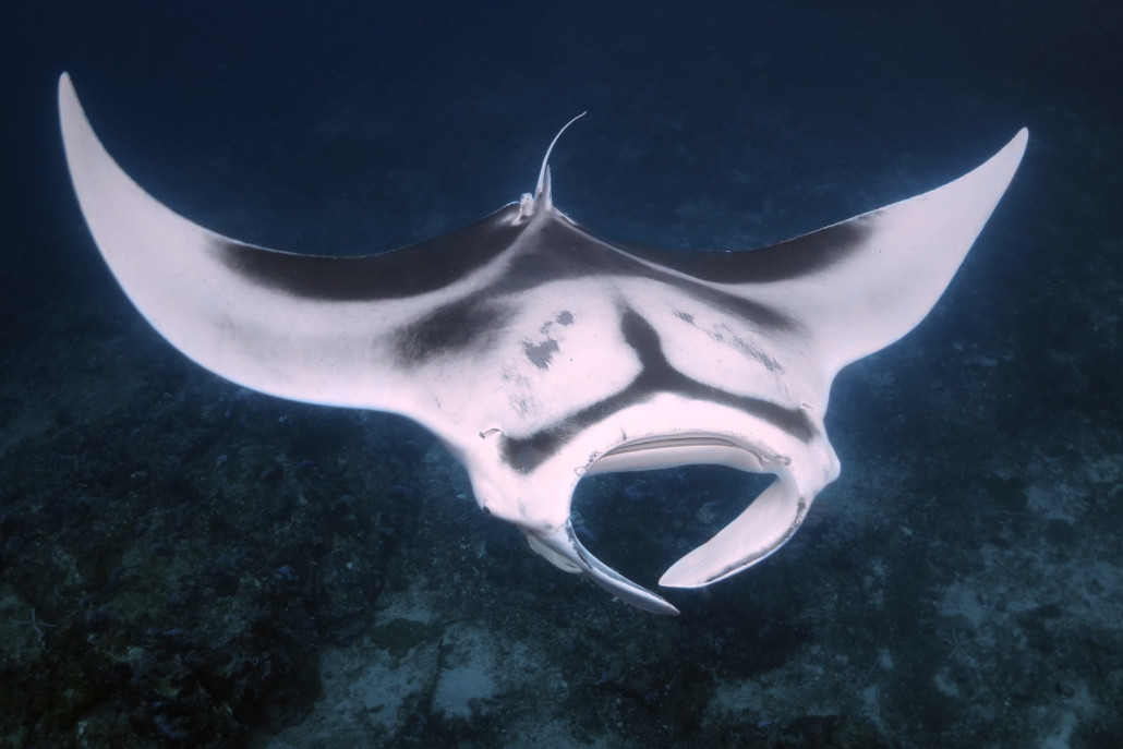 diving hin muang manta from Lanta