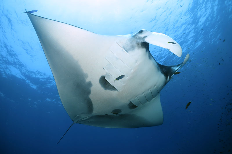 hin daeng hin muang site with manta