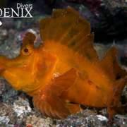 Rhinopias Eschmeyeri diving Koh Haa
