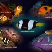 clownfish koh lanta
